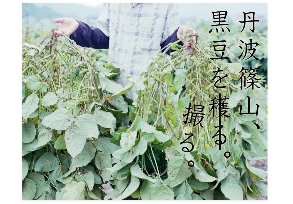 20111011_丹波篠山黒豆を穫る01