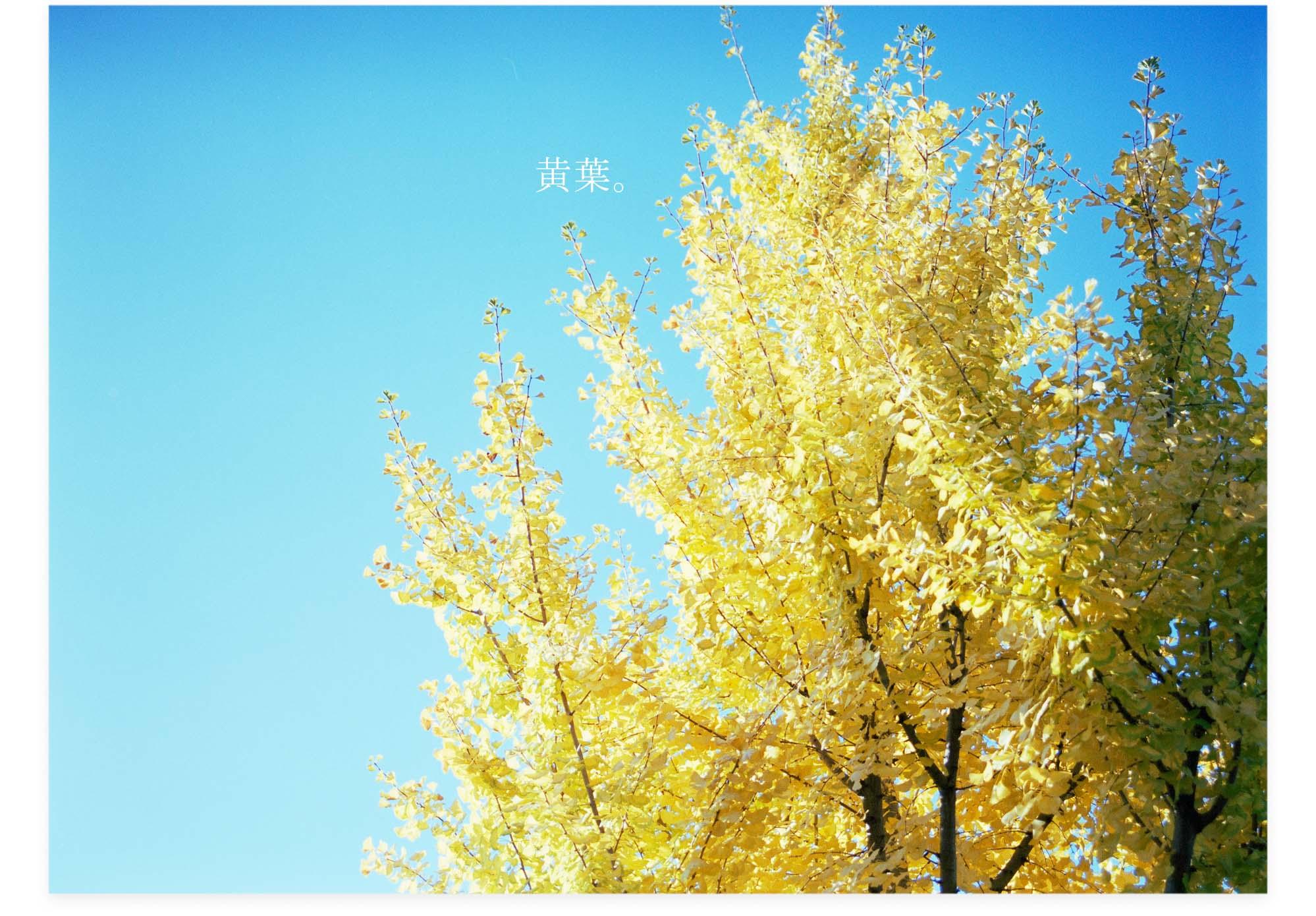 20121123c_黄葉